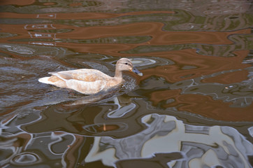 Light Orange Duck in Water With Patterns