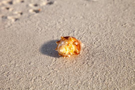 Fighting conch seashell Strombus pugilis on a white sand beach