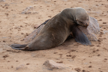 Single sleeping seal on sand beach