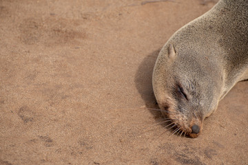 Sleeping seal on beach sand background with text space