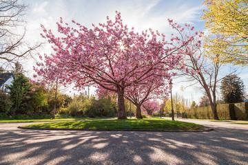 Cherry blossom tree on a boulevard near UBC.