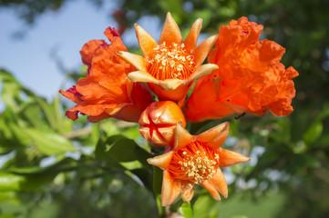 Pomegranate tree in blossom or Punica granatum flowers