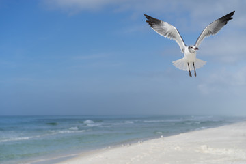 isolated seagull flying in for a landing alone over a sandy beach