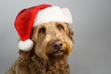Golden doodle santa hat