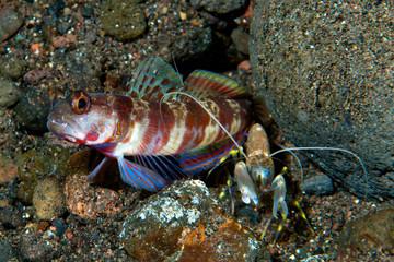 Broad-banded shrimp-goby Amblyeleotris periophthalma
