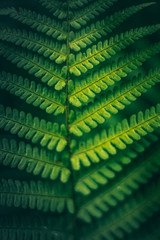 Green leaves of fern, macro, abstract background concept
