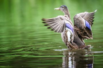 Duck The Mallard