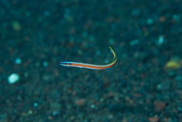 Neon worm-goby Gunnellichthys curiosus