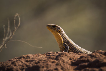 Rock monitor in Kruger National park, South Africa ; Specie Varanus albigularis family of Varanidae