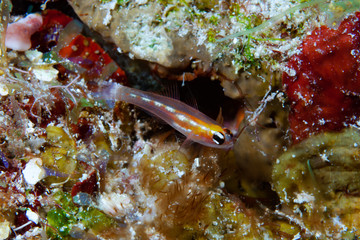 Masked Goby Coryphopterus personatus