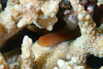 Five-lined coral goby Gobiodon quinquestrigatus