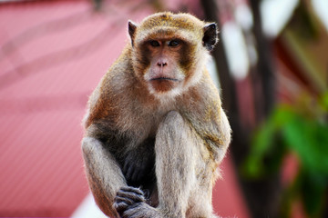 Portrait of a brown macaque sitting on a roof in Hua Hin in Thailand, Asia