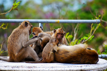Closeup of a monkey family sitting on a table in Hua Hin in Thailand, Asia