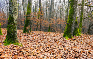 leafless forest in autumn. moss on tree trunks and weathered foliage on the ground