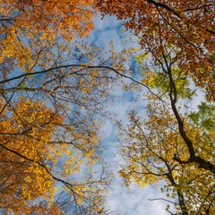 colorful foliage on a sky background. turn your head up. beautiful autumn mood