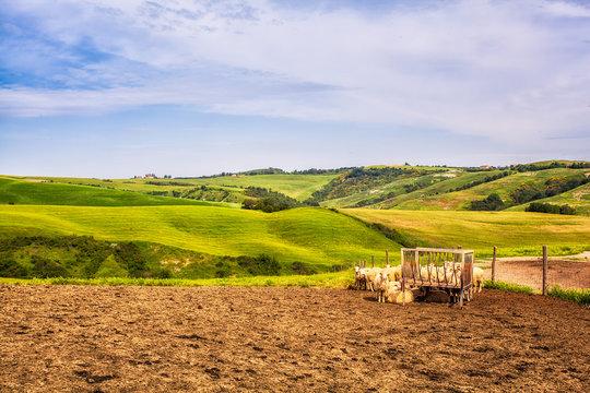 Paesaggio delle crete con pecore