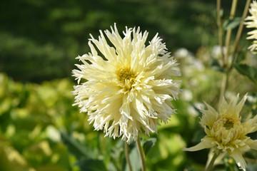 Dahlia cactus jaune en été au jardin