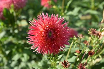 Dahlia cactus rose au jardin