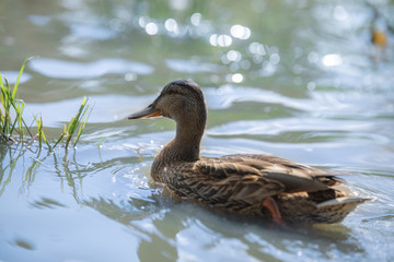 Brown wild duck on an abandoned lake.