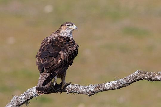 Bonelli's eagle (Aquila fasciata), Andalusia, Spain