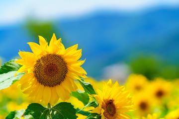Fotobehang Zonnebloem 花物語:故郷の夏休み風景