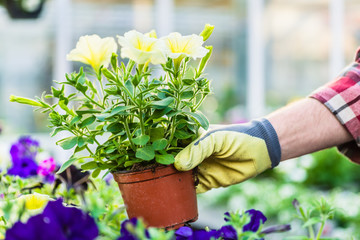 Close-up of the hand of a florist wearing gardening glove while holding a beautiful potted yellow petunias during work at the flower market