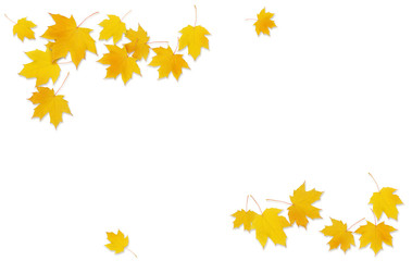 Autumn maple twig with yellow leaves