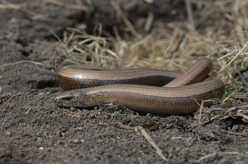 Slow Worm (Anguis fragilis)/Slow Worm discovered under refugia