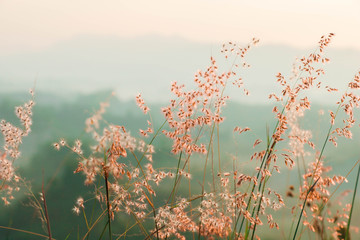 Postcard/ Blooming reed flower - Tainan, Taiwan the pink flowers bloom luxuriantly