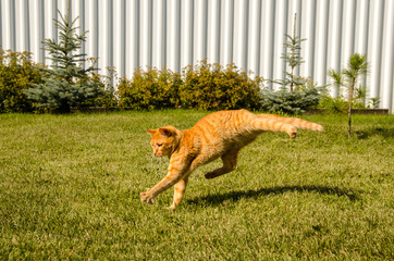 Ginger cat runs, on a green grass and pine tree background.