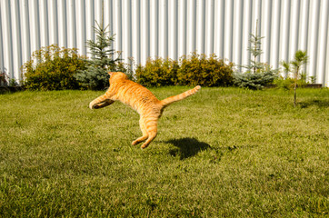 Ginger cat jumps, on a green grass background.