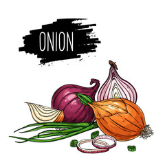 Hand drawn isolated onion, rings, halves, pieces and green onion with label. Natural vegetable vector sketch illustration.