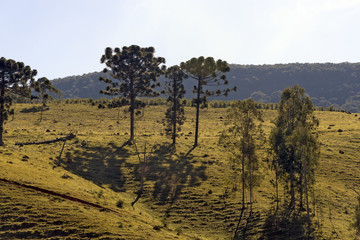 Brazilian pines on top of hill in backlight