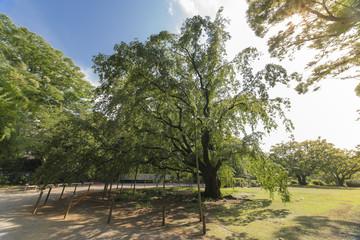 Gigantic weeping cherry tree in the spring of the garden of Rikugien in Tokyo in Japan.