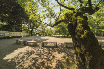 Old cherry tree with large trunk full of green moss surrounded the benches of the entrance place of Rikugien Park at Tokyo in Japan.