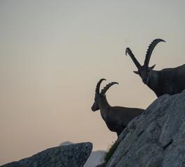 Alpensteinbock - Capra ibex