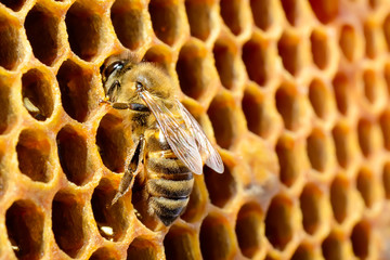 Macro pictures of bee in a beehive on honeycomb with copyspace. Bees turns nectar into fresh and healthy honey. Concept of beekeeping.