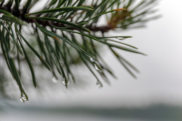 wet pine branch close up