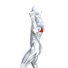 Concept conceptual 3D illustration back fit strong human anatomy or anatomical and gym muscle isolated, white background for body health with biological tendons, spine, fitness medical muscular system
