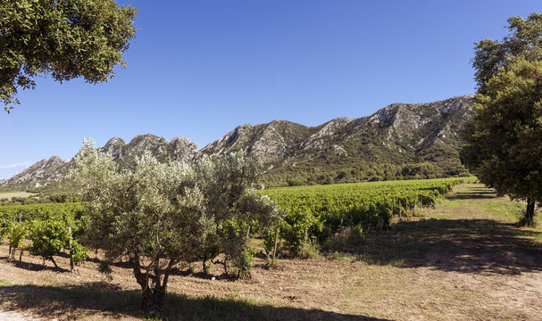 Vineyard in the Les Alpilles Region in St. Remy de Provence. Buches du Rhone, Provence, France..