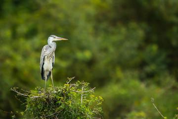 Grey Heron Nagarhole National Park Karnataka India