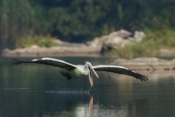 Spot Billed Pelican Dive Ranganathittu Bird Sanctuary Karnataka India