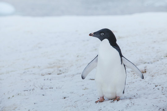 adelie penguin in Antarctica, antarctic wildlife