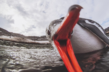 funny penguin biting camera, cute animal angry bird in Antarctica