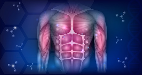 Muscles of the human body, torso and arms, beautiful colorful illustration on an abstract blue background.