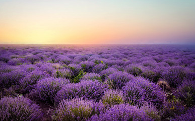 Fotobehang Snoeien Lavender field at the sunset