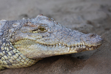 Nile crocodile (Crocodylus niloticus) resting on sand, near water. Close up portriat of Nile crocodile which is an African crocodile, the largest freshwater predator in Africa