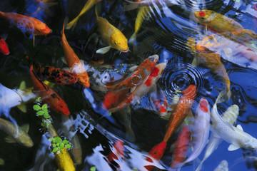 gold carp in aquarium