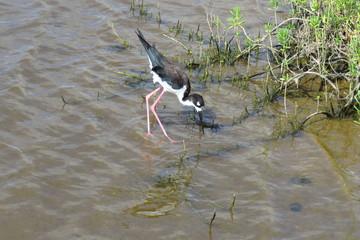 The endangered Hawaiian stilt (Himantopus mexicanus knudsen) is a long-legged, black and white bird with a long, thin beak that likes the water. Kealia Coastal Boardwalk, Maui, Hawaii