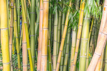 Colorful Grove of Dense Bamboo Reeds